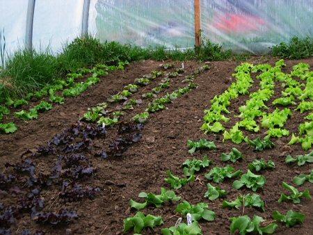 Lettuce progresses
