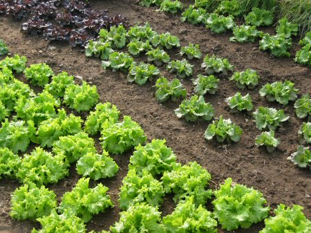 Early lettuce expands