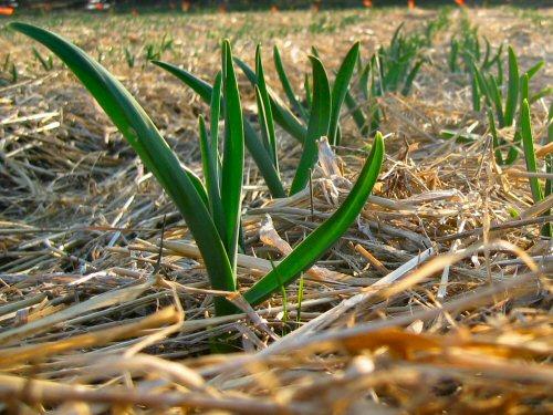 Garlic (2007)