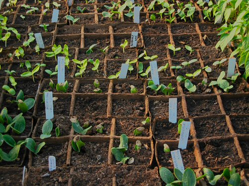 Cucurbits germinate