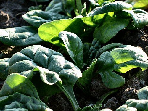 First spinach