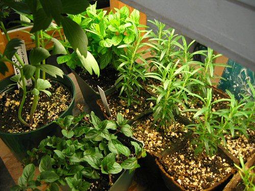 Herbs...