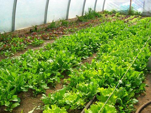 Lettuce gone wild…