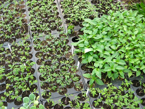 More seedlings to the greenhouse