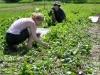 Beet greens harvest