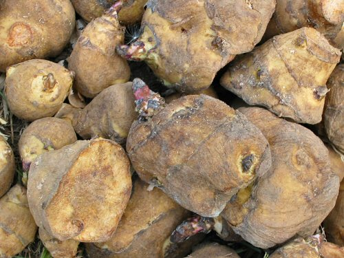 Jerusalem artichoke tubers