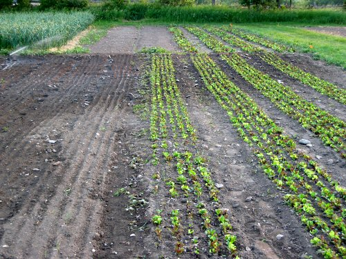 Succession planting mesclun