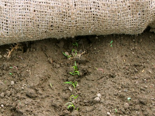 Carrots germinated by burlap method