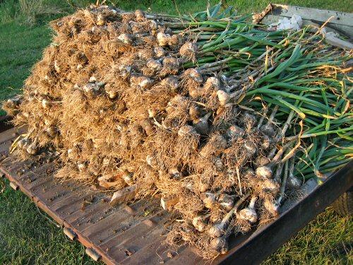 Hauling garlic