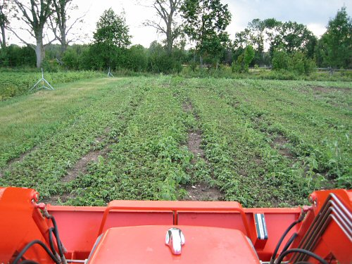 Pigweed: going in! | Tiny Farm Blog