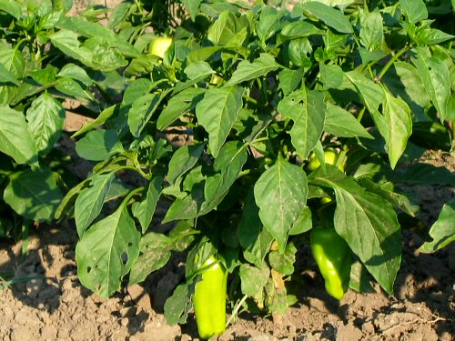 Peppers…