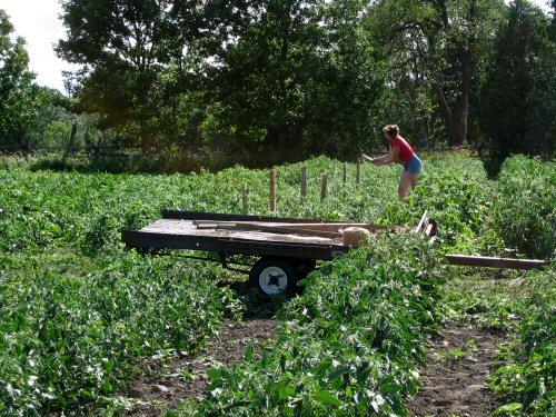 Pounding tomato stakes
