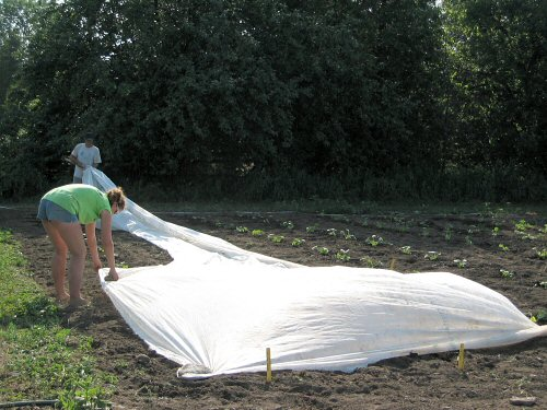 Row covering summer squash risk crop