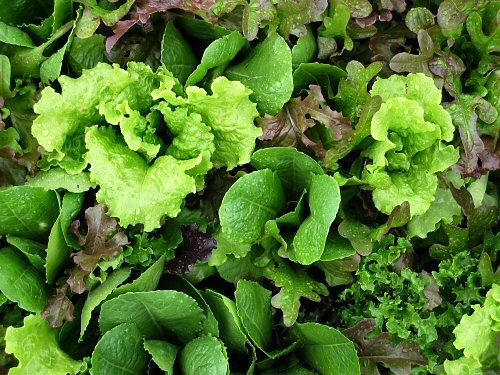 Lettuce in August