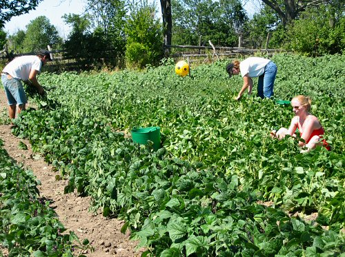 a research on row cover and no row cover farming on summer squash and muskmelon Cucumber beetles: spotted or striped - vegetables mainly of cucumber and muskmelon, but also of summer squash remove the row cover once plants bloom to allow.