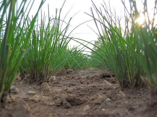 Chives-level view
