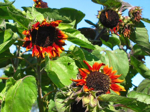 Claret sunflowers