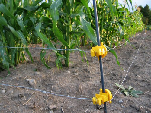 Electric fenced corn