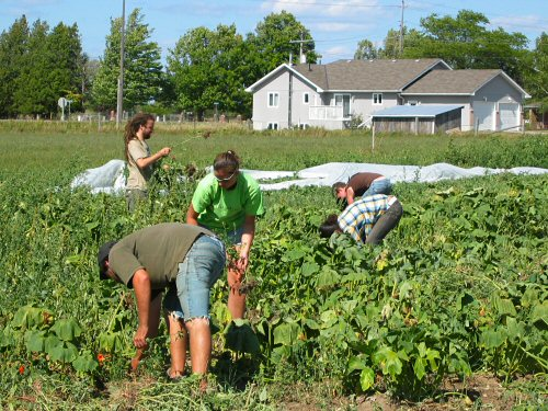 Pigweeding and local food