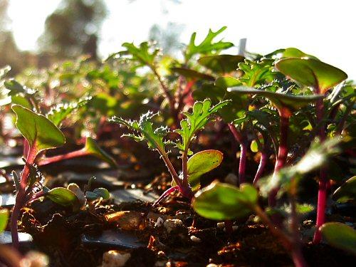 Last of the seedlings