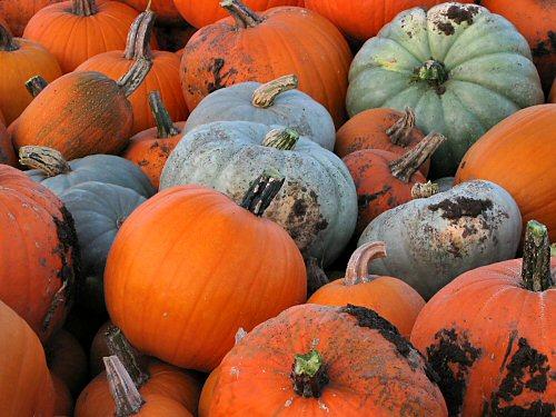 Connecticut Field, Neon, Jamboree, Small Sugar and Snack Jack pumpkins
