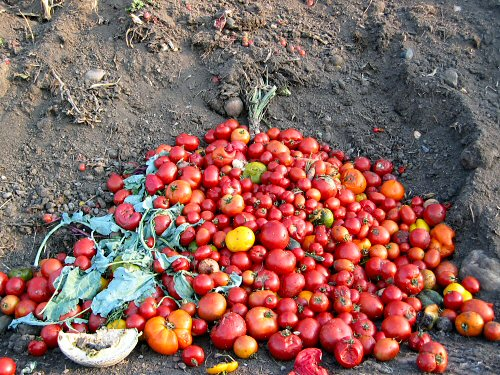 Tomatoes on the compost pile