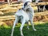 Goats...