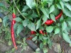 Mature hot peppers