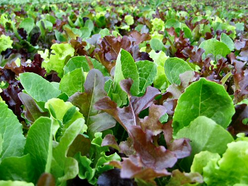 New beds of all-lettuce mesclun