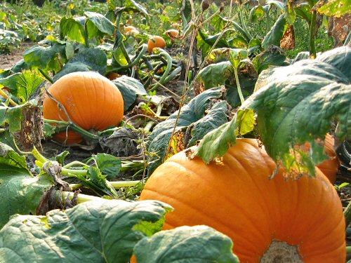 Pumpkins' progress