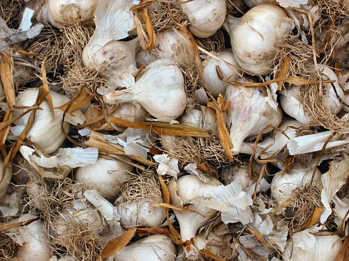 Garlic for sale…?