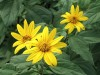 Flowering Jerusalem artichoke