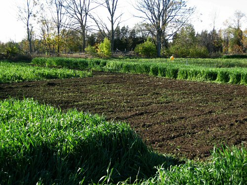 New garlic plot