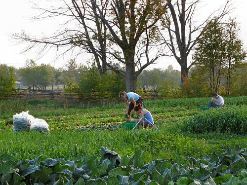 Harvesting mesclun and spinach