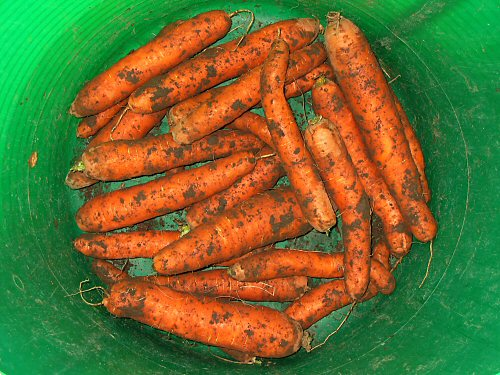 Freshly dug carrots from the cold mid-November ground