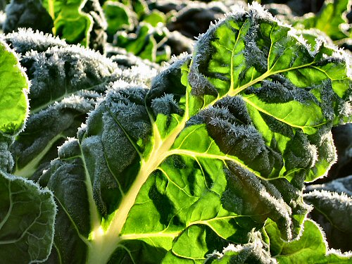 Frost on the Swiss chard before the morning melt-off