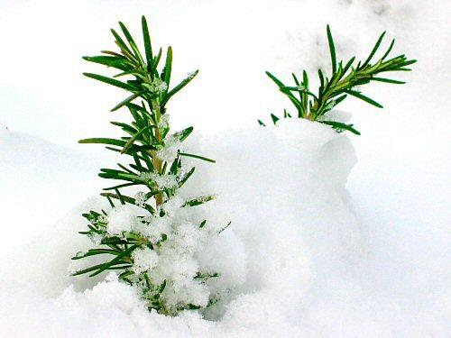 Rosemary under snow