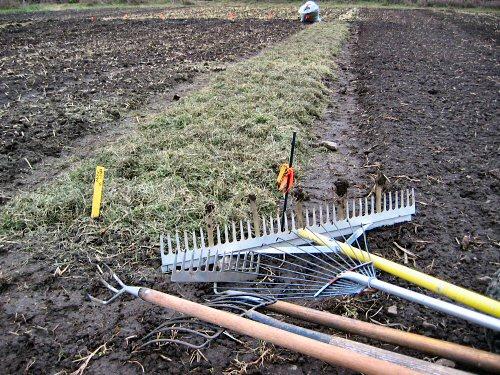 Spreading grass-alfalfa mulch on garlic