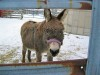 Jack the miniature donkey