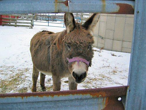 Jack the miniature donkey