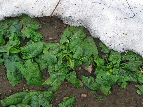Spinach emerging from snow cover