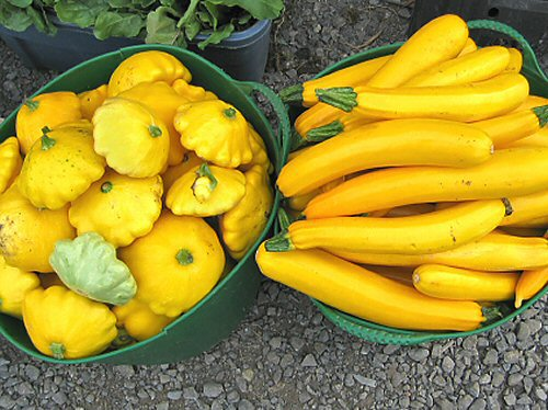 Suburst and Golden Dawn III summer squash
