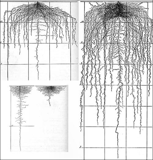 Lettuce root system