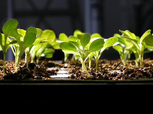 Granada lettuce seedlings