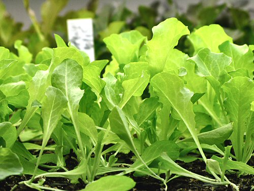 Simpson Elite lettuce seedlings