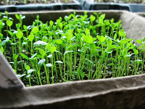 spr08_celeriac_seedlings.jpg