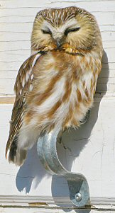 Owl hanging out on a door handle