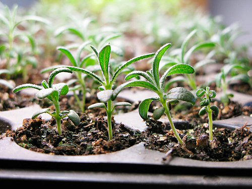 Rosemary seedlings