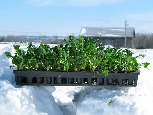 Arugula en route to the greenhouse