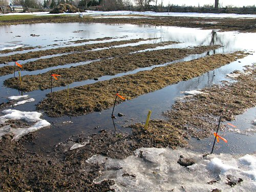 Garlic beds partially submerged